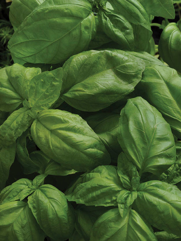 BASIL SWEET LARGE LEAVED