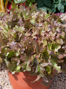LETTUCE SALAD BOWL RED