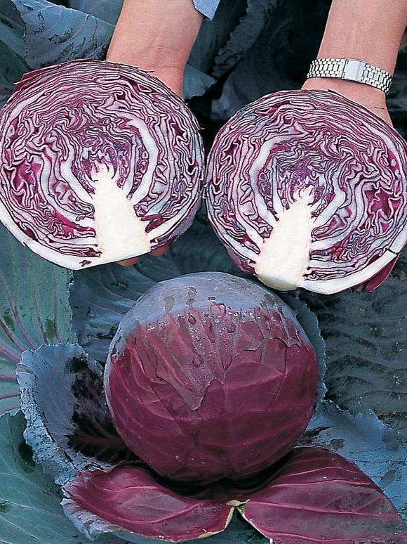 CABBAGE BABY PRIMERO RED