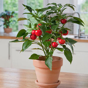 CAPSICUM POT PEPPER RED TOMATO