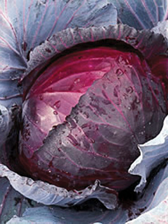 CABBAGE RED JEWEL