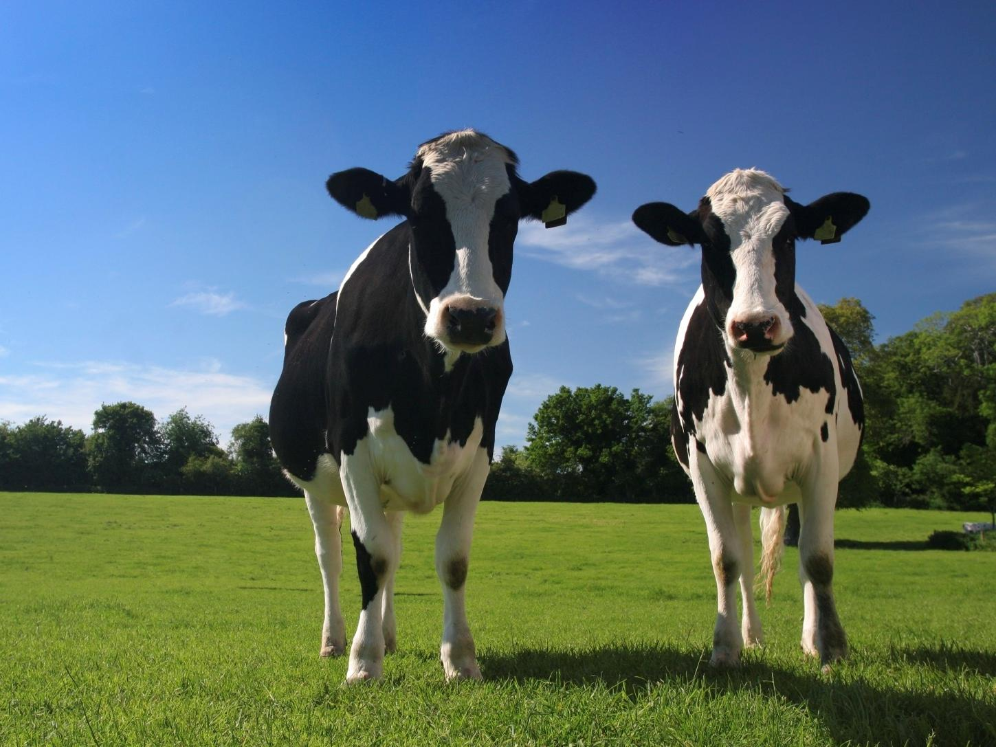 Dairy Cattle
