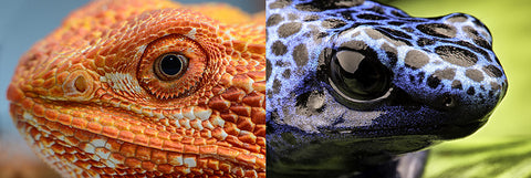 Dragon or Dart Frog Photo Feature for Issues 3?
