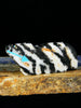 Zebra Stone Coyote Zuni Fetish by Abby Panteah - PuebloDirect.com - 1