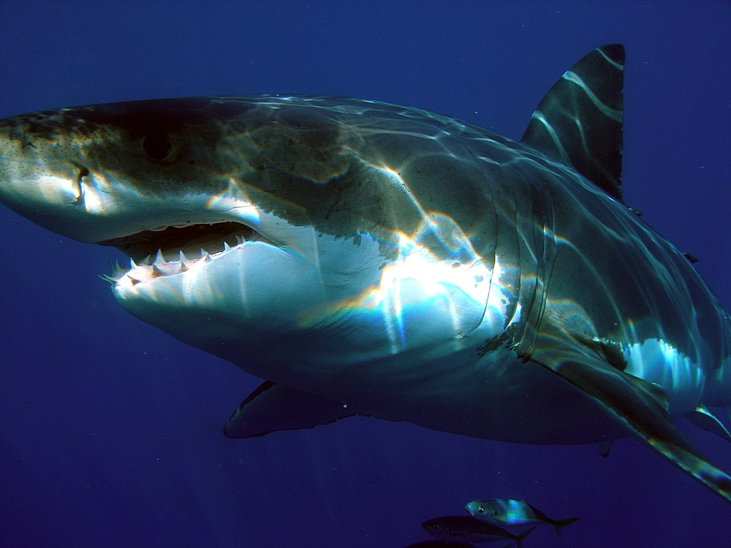 Great white shark off the Guadalupe Island, Mexico