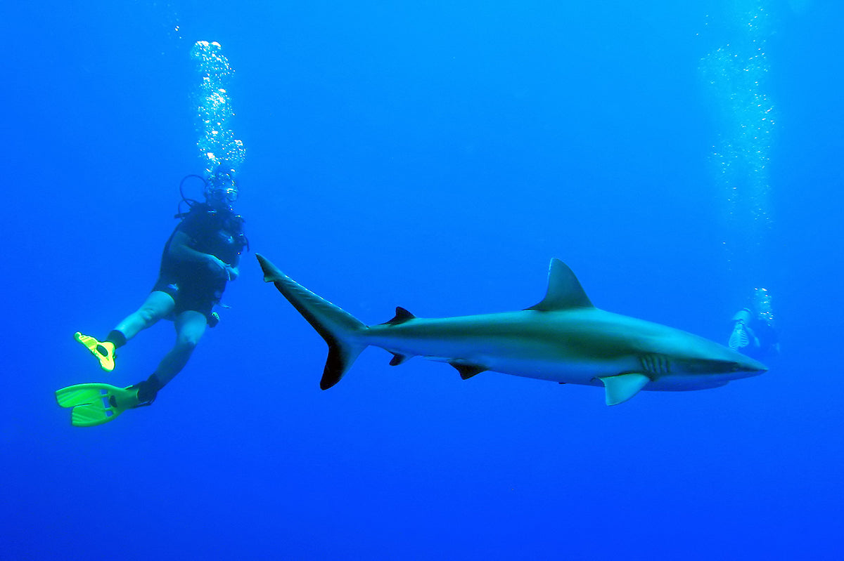 Diver swimming with sharks in the ocean