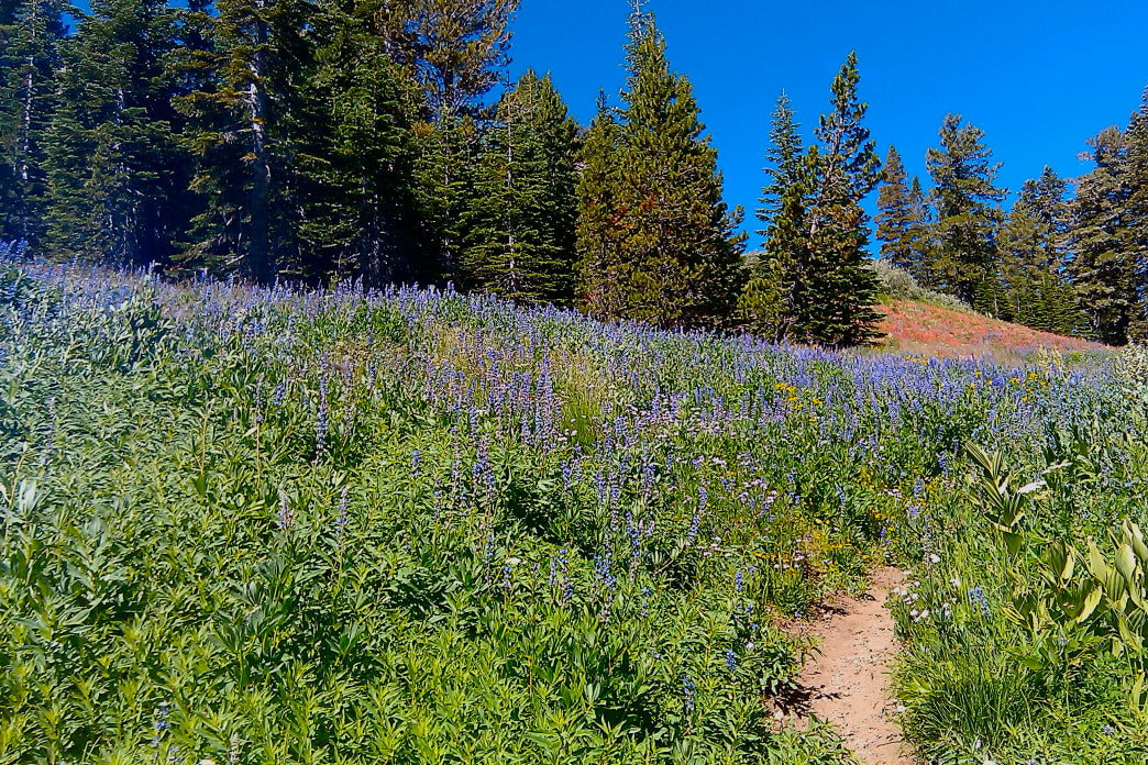 The blooming hillsides in the Miracle Mile near Lake Tahoe are splashed with vibrant purple and orange wildflowers.