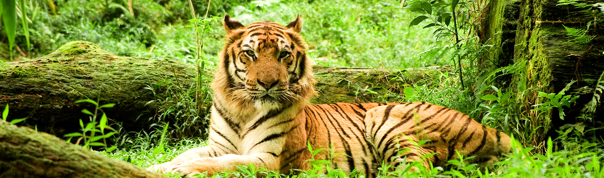 Fun facts about Tigers