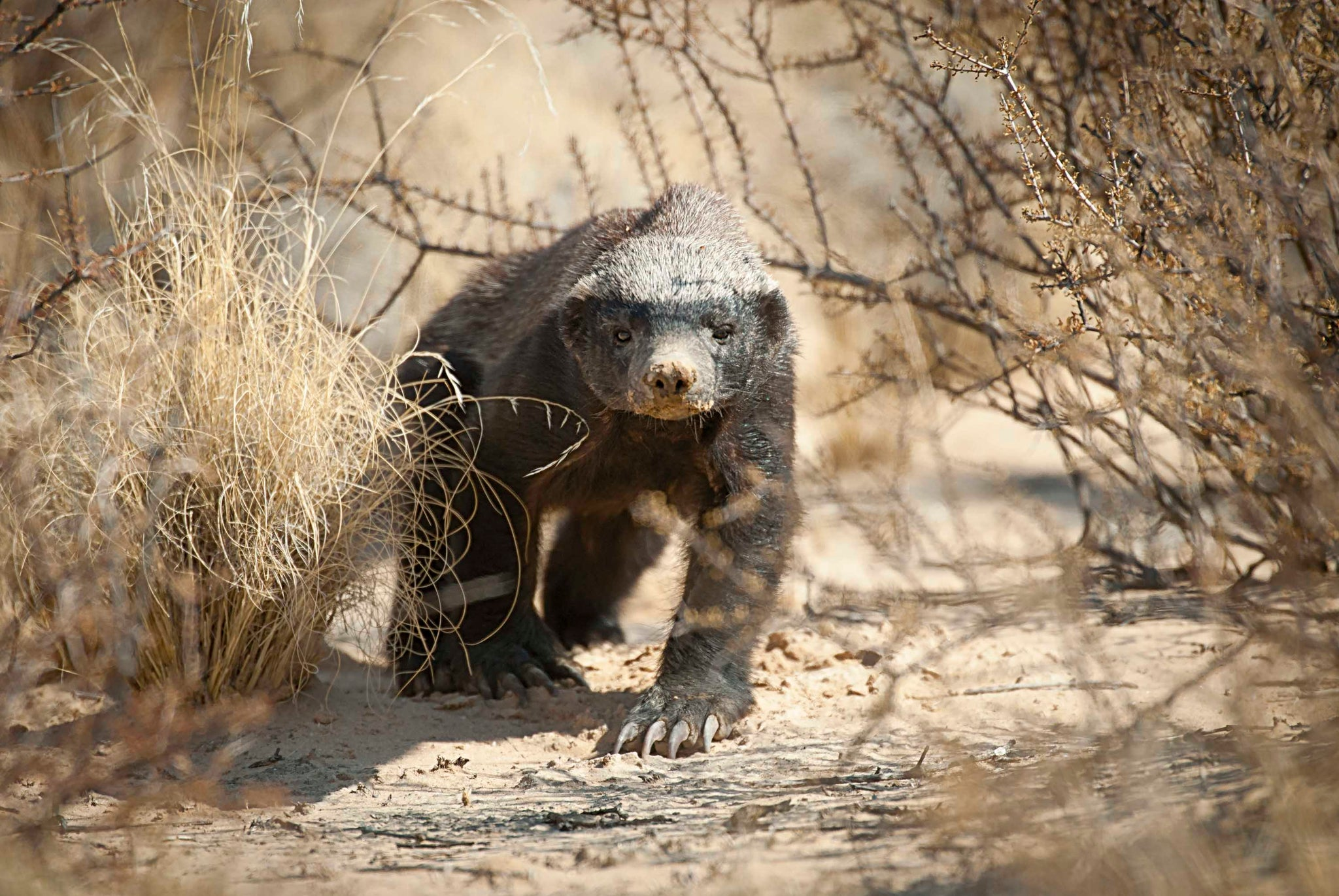 How To Find A Honey Badger In The Kgalagadi Hph Publishing South