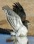 The black-chested snake-eagle in all its glory