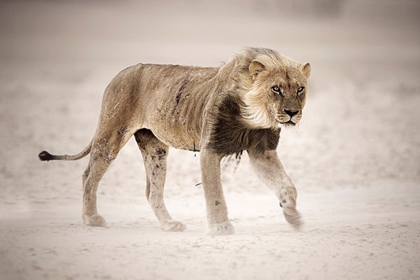 Kgalagadi's old lone lion