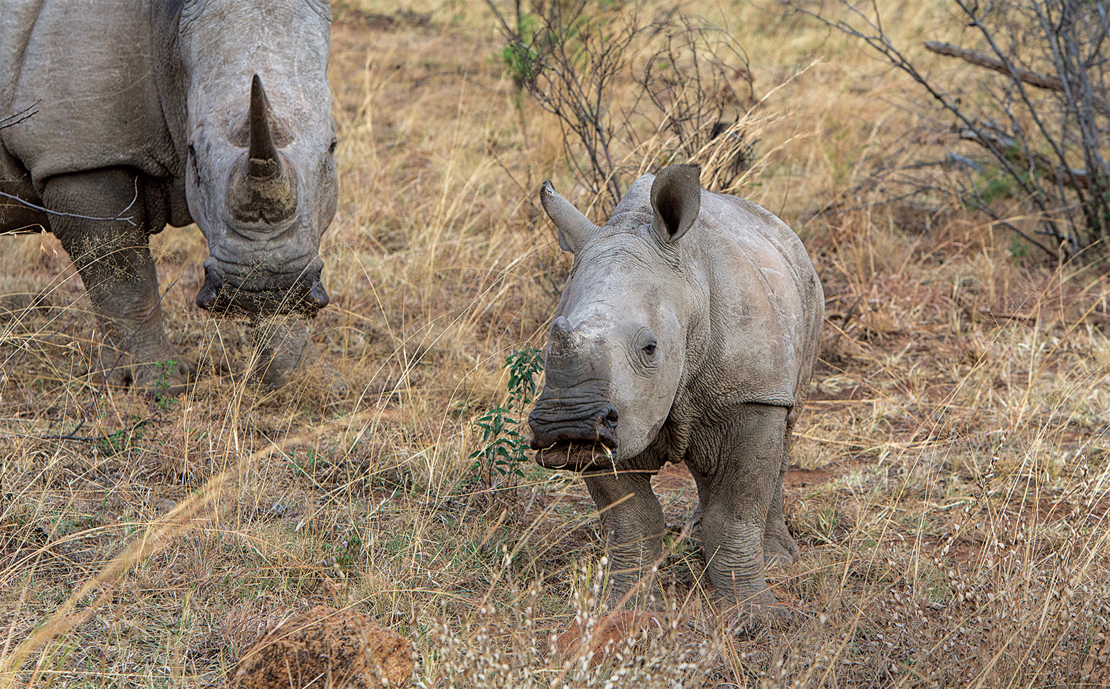 The story of the rhino orphans