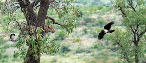 Famous Leopards of Pilanesberg