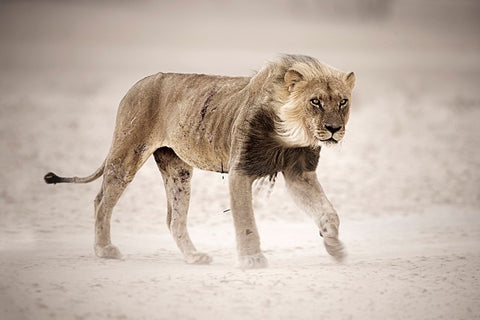 Male lion in dust storm