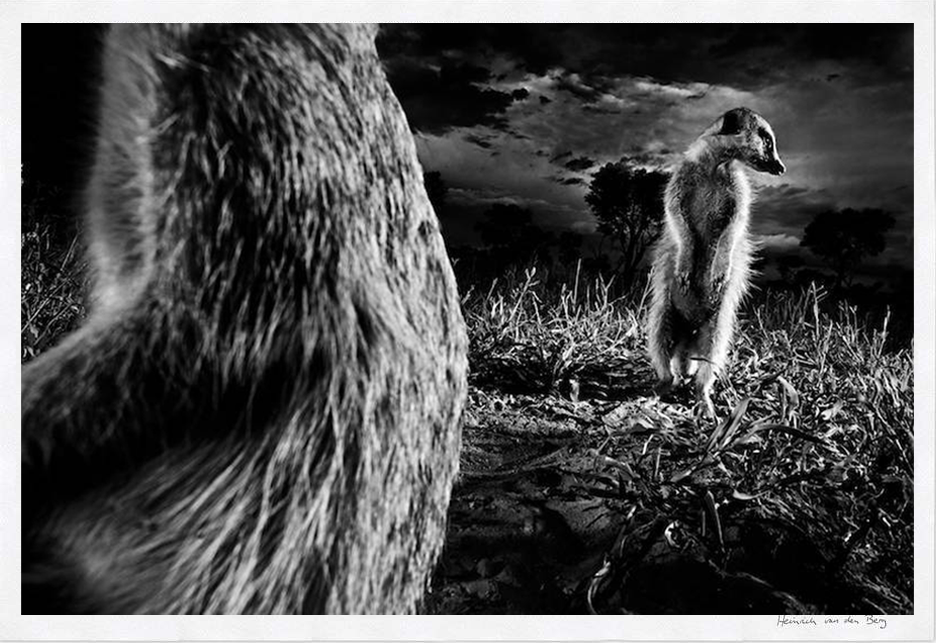 Meerkats Fine Art Print - HPH Publishing South Africa