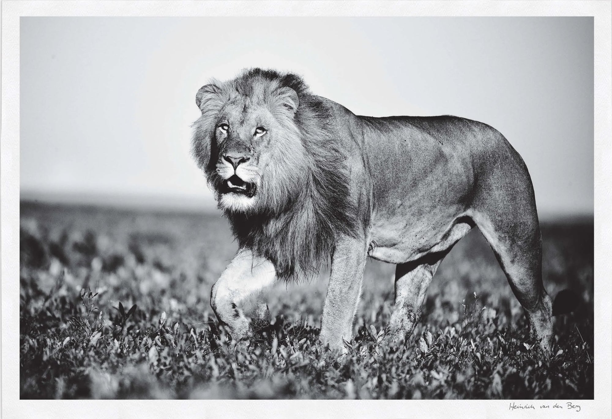 Lion Walking Fine Art Print - HPH Publishing South Africa