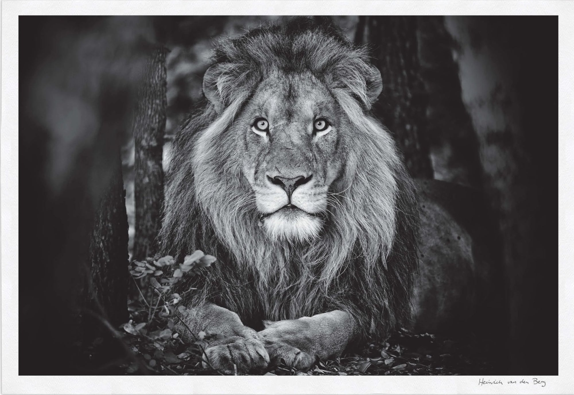 Lion Portrait Fine Art Print - HPH Publishing South Africa