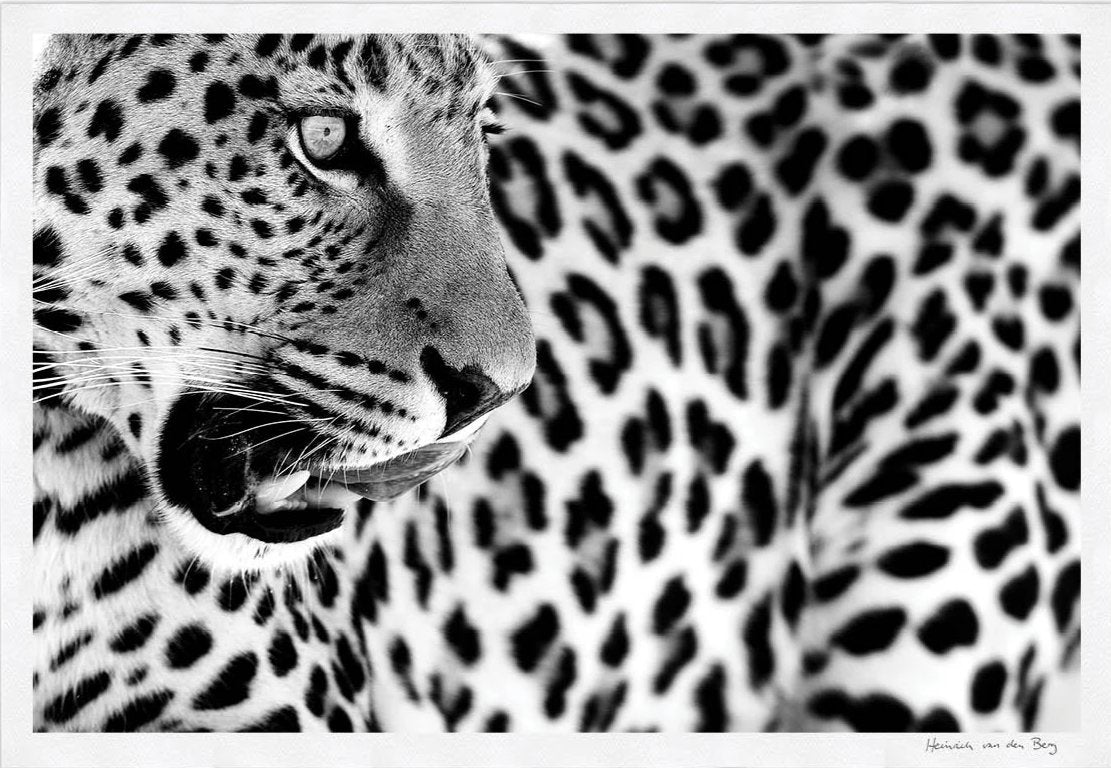 Leopard Spots Fine Art Print - HPH Publishing South Africa