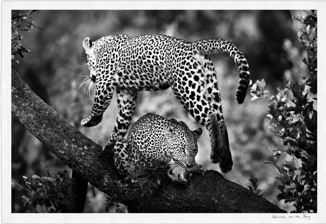 Leopard Body Fine Art Print - HPH Publishing South Africa