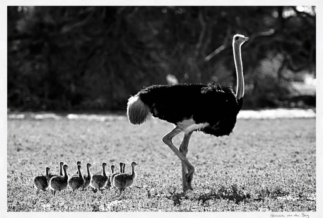 Ostrich with Young Limited Edition Fine Art Print - HPH Publishing South Africa