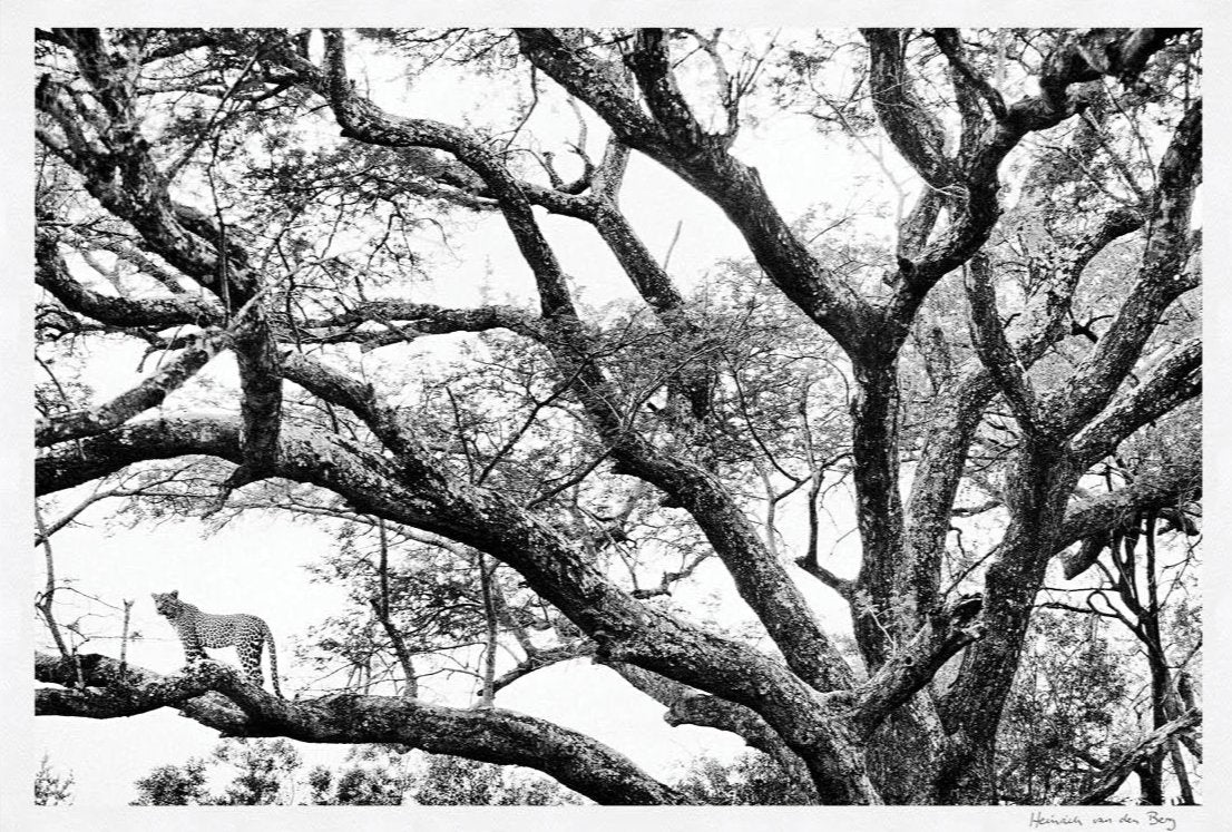 Leopard in Tree Fine Art Print - HPH Publishing South Africa