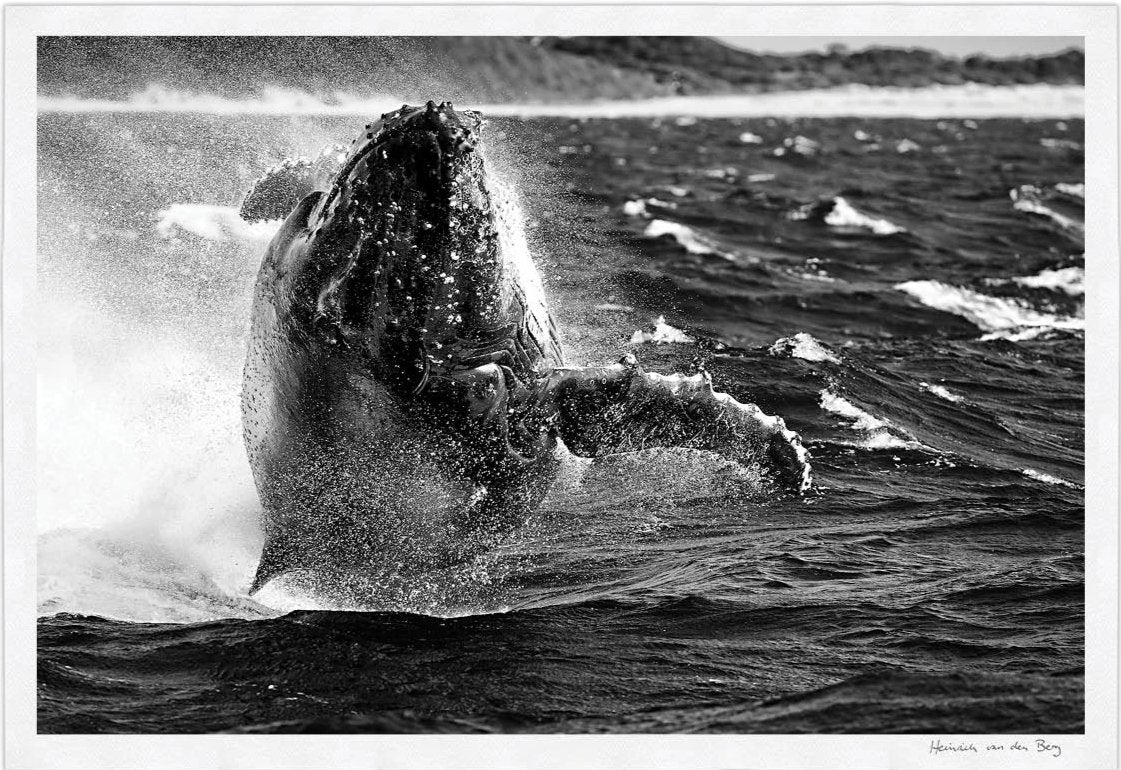 Whale Limited Edition Fine Art Print - HPH Publishing South Africa