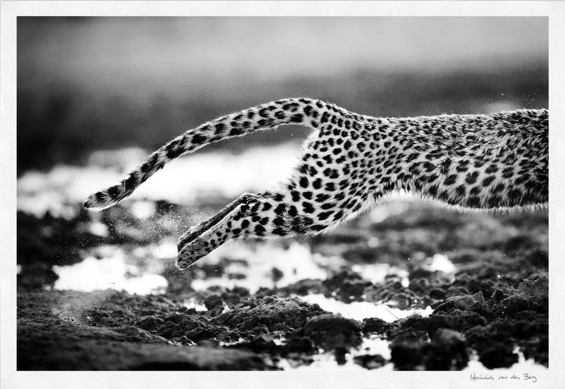 Leopard Jump Fine Art Print - HPH Publishing South Africa