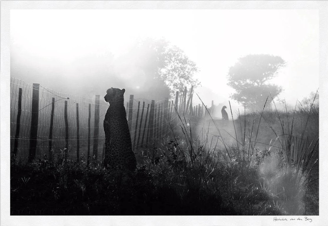 Cheetah Fence Limited Edition Fine Art Print - HPH Publishing South Africa
