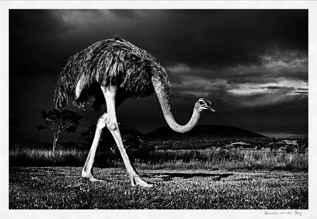 Ostrich Fine Art Print - HPH Publishing South Africa