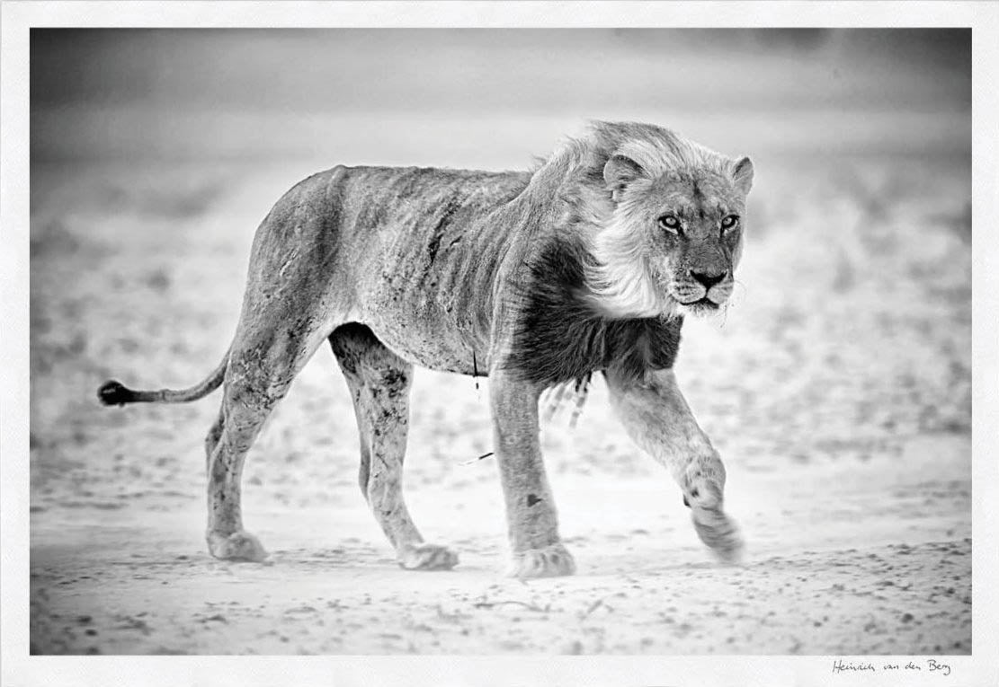Lion in Dust Storm Limited Edition Fine Art Print - HPH Publishing
