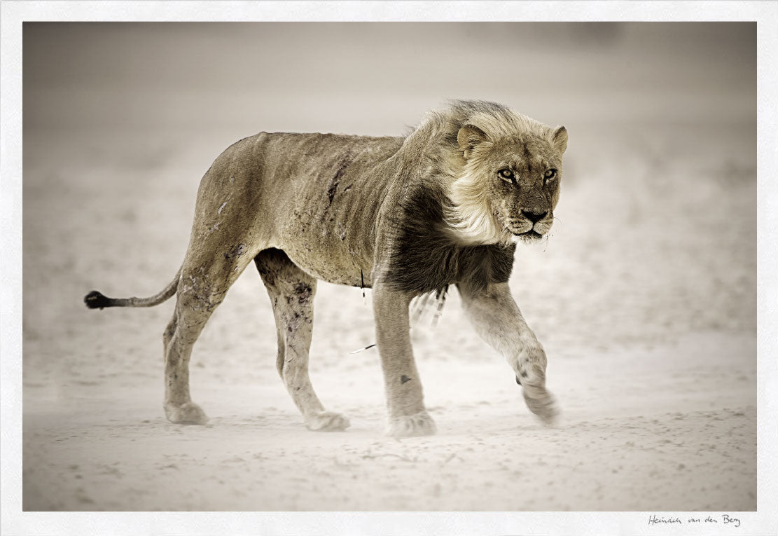Lion in dust storm Fine Art Print - HPH Publishing
