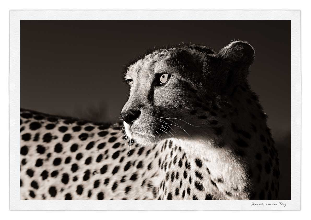 Cheetah Profile Fine Art Print - HPH Publishing