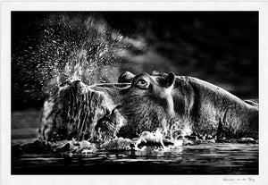 Snorting Hippo Fine Art Print - HPH Publishing
