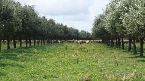 sheep olive grove