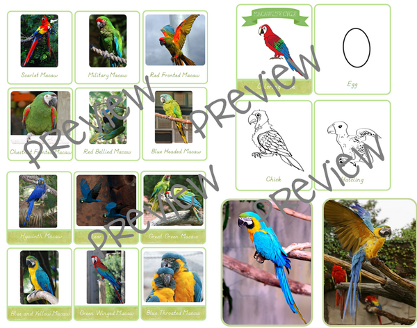 Macaw Life Cycle Printables