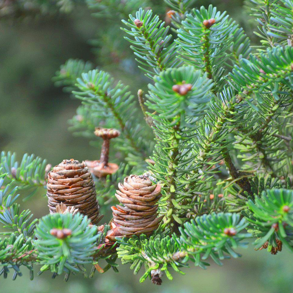 For Good Wealth (Nordmann's Fir) - Plant for Wealth in all Areas of your Life