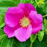 For Wildlife (Wild Rose Red) - Plant for the Bugs and Beauty