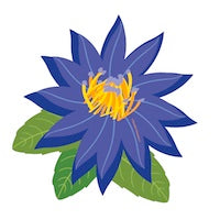 Blue lotus absolute oil drawing