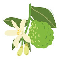 Bergamot Essential Oil Drawing