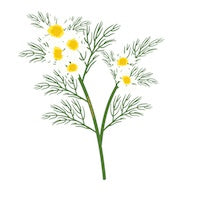 Chamomile Essential Oil Drawing