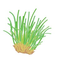 Citronella Essential Oil Drawing