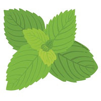 Peppermint illustration essential oil