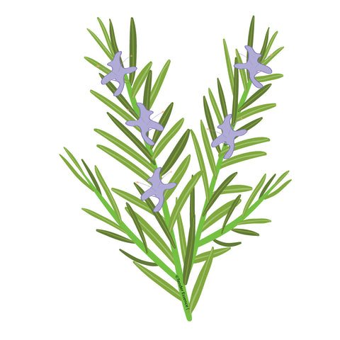 Rosemary Essential Oil Drawing