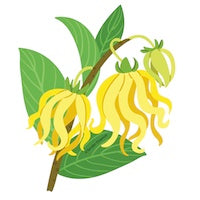 Ylang Ylang Essential Oil Drawing
