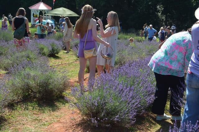 FAQs About our 2019 Lavender Festival