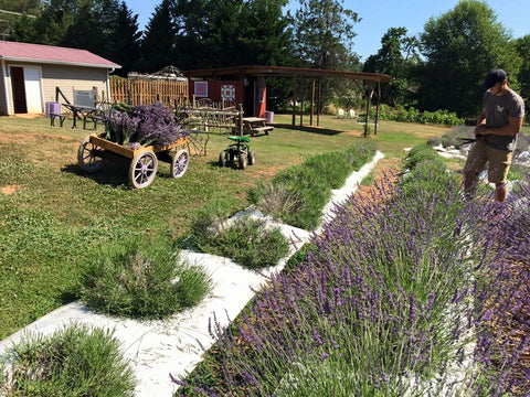 Will helping with our 2016 lavender harvest - copyright 2016 Red Oak Lavender Farm