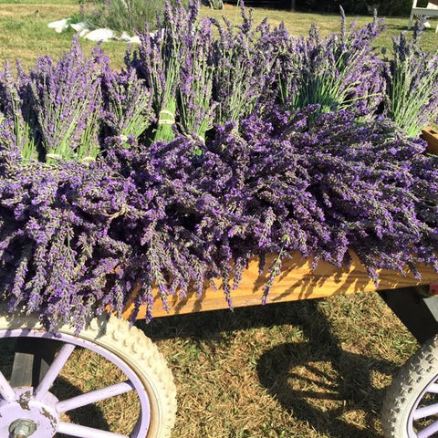 2016 lavender harvest - copyright 2016 Red Oak Lavender Farm