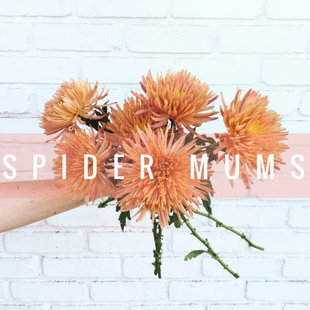 Stem Friends: SPIDER MUMS