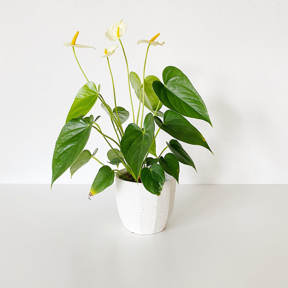 Bona Vase - White geometric ceramic planter holding a green tropical plant
