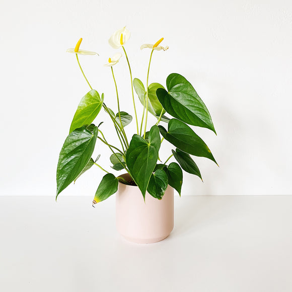 Blush pink vase with vibrant green houseplant inside